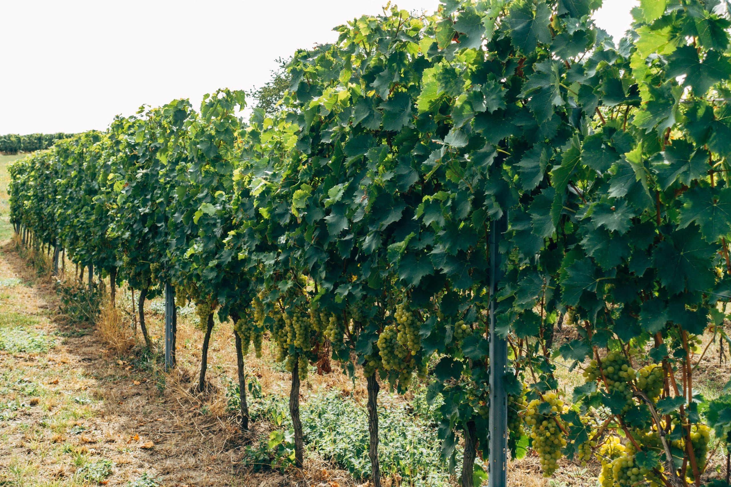 grape production