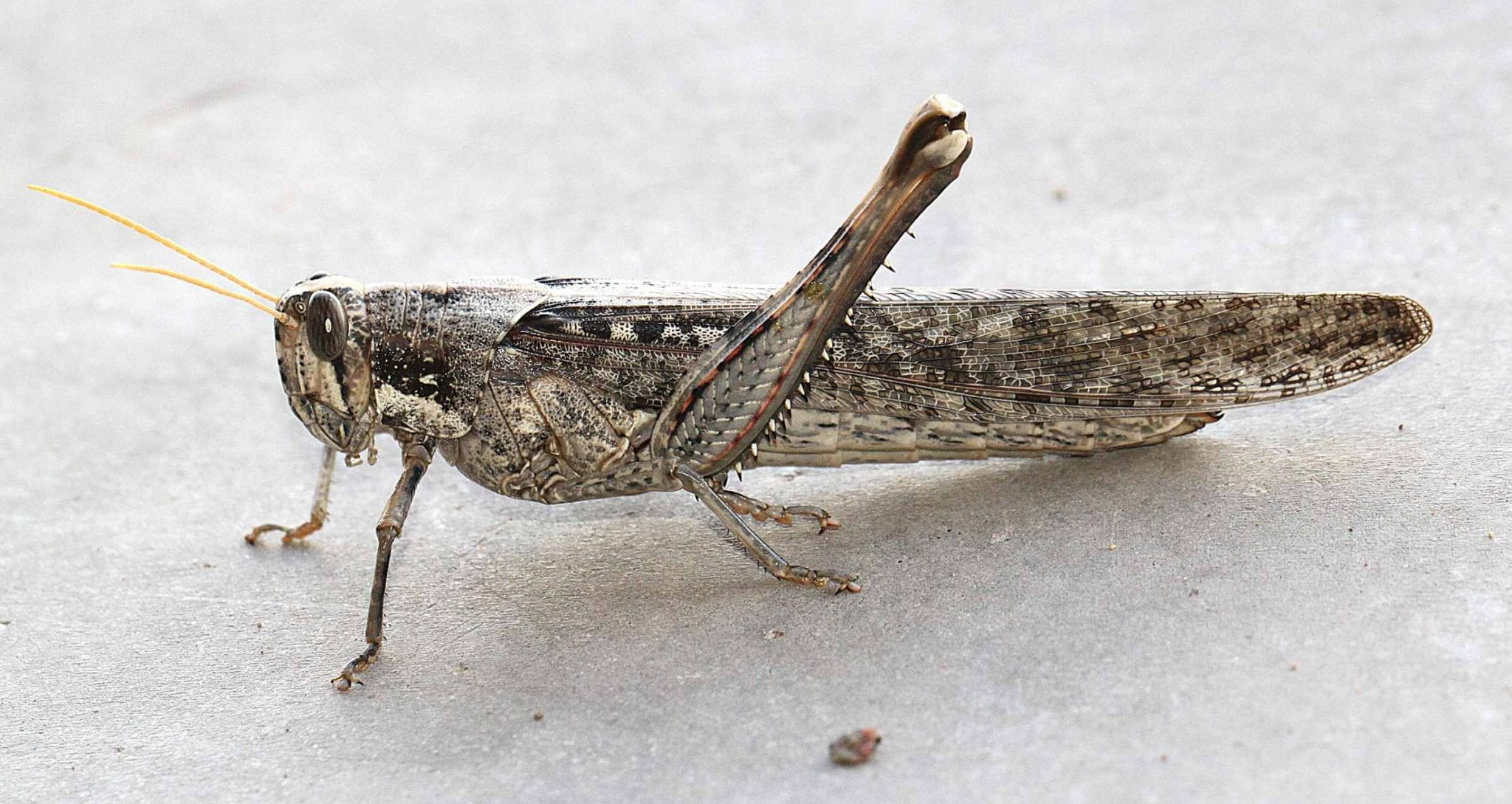 The drought in the West is contributing to grasshopper infestations.